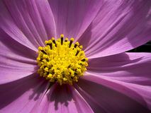 Extreme Closeup of Intensely Colorful Red Cosmos Flower Blossom Royalty Free Stock Photos