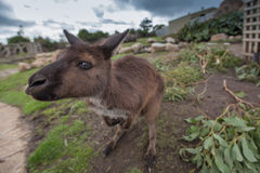 Extreme closeup of kangaroo standing.  royalty free stock image