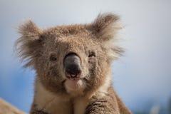 Extreme closeup of Koala. Staring into the camera royalty free stock photography