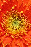 Extreme closeup(macro) of beautiful gerbera flower Stock Image