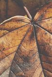 Extreme closeup macro of an colorful autumn leaf with fine detai Royalty Free Stock Image