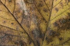 Extreme closeup macro of an colorful autumn leaf with fine detai Royalty Free Stock Photography