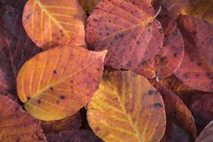 Extreme closeup macro of an colorful autumn leaf with fine detai Royalty Free Stock Photos
