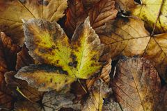 Extreme closeup macro of an colorful autumn leaf with fine detai Stock Image