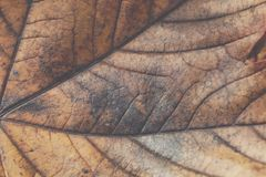 Extreme closeup macro of an colorful autumn leaf with fine detai Royalty Free Stock Photo