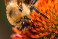 Extreme closeup macro detail of bumble bee feeding / pollinating on what may be a species of cone flower royalty free stock photos