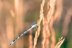 Extreme Closeup Of Dragonfly On Meadow Royalty Free Stock Image