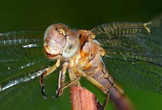 Extreme closeup shot of the dragonfly Royalty Free Stock Image
