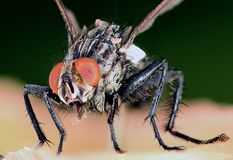 Extreme closeup shot of the fly Royalty Free Stock Images