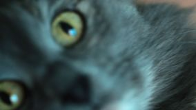 Extreme closeup shot of gray cat holding by hands selective focus stock video footage