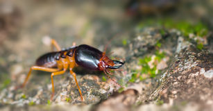 Extreme Closeup of a Soldier Termite on a Rock Royalty Free Stock Photo