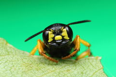 Extreme closeup of a wasp on green leaf Royalty Free Stock Images