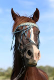 Extreme closeup of a young purebred arabian mare Stock Photography