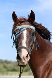 Extreme closeup of a young purebred arabian mare headdress Stock Photography