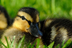 Extreme Closup of Mallard Duckling Royalty Free Stock Images