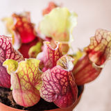 Extreme coseup of Sarracenia- carnivore plant Stock Image