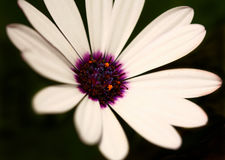 Extreme Depth of Field Image of a White Daisy With Stock Photos
