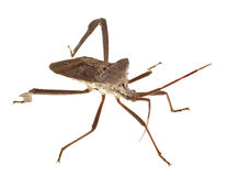 Extreme Depth of Field Photo of Florida Leaf-Footed Bug Stock Image