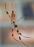 Extreme Depth of Field Photo of a Golden Silk Spider Stock Photos