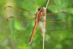 Extreme Depth of Field Photo of Golden Winged Skimmer Dragonfly Stock Photos