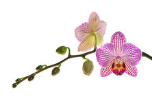 Extreme Depth of Field Photo of a New Orchid Bloom and Buds Stock Images