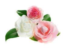Extreme Depth of Field Photo of Pink and White Camellias on Whit Royalty Free Stock Images
