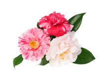 Extreme Depth of Field Photo of Three Camellias Isolated on Whit. Extreme Depth of Field Photo of Three Multi-Colored Camellias Isolated on White royalty free stock photo