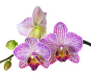 Extreme Depth of Field Photo of a Three Orchid Blooms Royalty Free Stock Image
