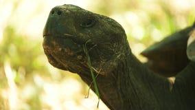 Extreme dichte omhooggaand van een reuzeschildpad op islasanta cruz in de Galapagos stock video