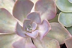Extreme Dichte Omhooggaand van Woestijn Rose Succulent Plant Royalty-vrije Stock Afbeelding