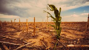 Extreme Drougt in a Cornfield Royalty Free Stock Photo