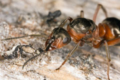 Extreme front view of wooden ant stock photo