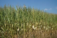 The extreme heat in Germany leads to enormous losses in the harvest. This is a extreme heat in Germany leads to enormous losses in the harvest of corn and corn stock photography