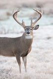 Extreme Heavy Mass Whitetail Buck Stock Photo
