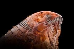 Extreme lineare Wiedergabe - Floh an 20x lizenzfreies stockfoto