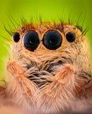 Extreme lineare Wiedergabe - springendes Spinnenporträt, Vorderansicht Stockbilder