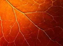Extreme macro of autumn leaf Stock Photography