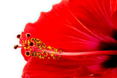 Extreme macro of beautiful red pink hibiscus flower Stock Photo