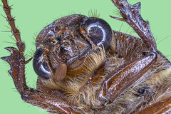 Extreme macro of brown beetle royalty free stock photography