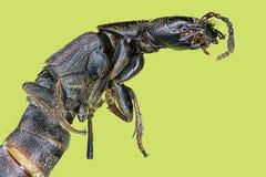 Extreme macro centipede. (Scolopendra cingulata Stock Photo