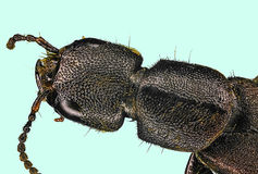 Extreme macro centipede. (Scolopendra cingulata Stock Photography