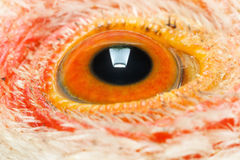 Extreme macro of chicken eye Royalty Free Stock Photos