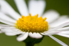 Extreme macro daisy in sunny day. Close up on yellow rods Stock Photos