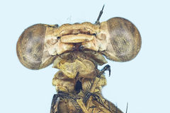 Extreme macro dragonfly Royalty Free Stock Photos