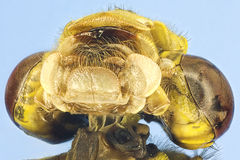 Extreme macro dragonfly Stock Photo