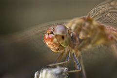 Extreme macro of the dragonfly Stock Photo