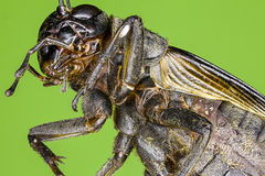 Extreme macro of a field cricket Stock Photography