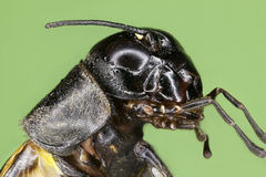 Extreme macro of a field cricket Stock Image