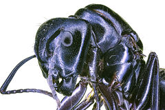 Extreme macro giant black ant Stock Photography