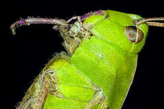 Extreme macro grasshopper Royalty Free Stock Images